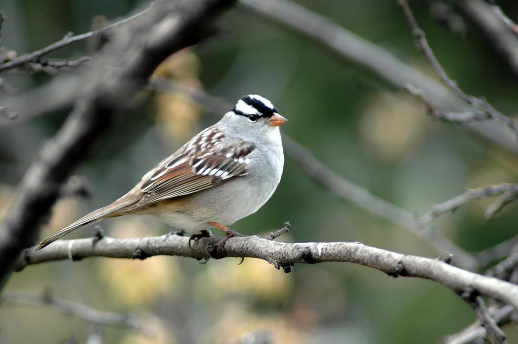 Whitecrowned Sparrow  Celebrate Urban Birds