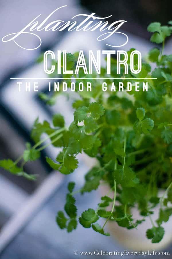 Planting Cilantro, The Indoor Garden