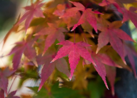 Pinky maple