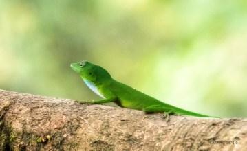 Lizard in Ecuador