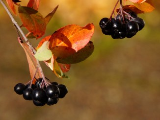beneficii proprietati aronia