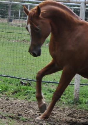 New Foals Celestial Arabians