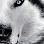 photo close up of wolf