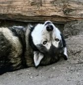 photo of wolf playfully flopped on its back