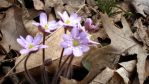 Hepatica, which can be lavender, is a complex flower, © 2013 Celia Her City