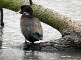 Tail feathers of black duck on North Pond, Chicago, @ 2013 Celia Her City