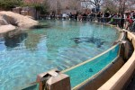 A sea lion swimming at Chicago's Lincoln Park Zoo, © 2013 Celia Her City