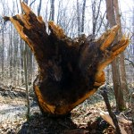 Energy: the jagged end of an upended tree in the Warren Woods, MI