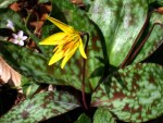 Trout lily in bloom.