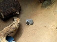 Meerkat, © 2013 Celia Her City
