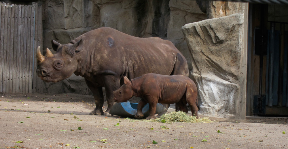 King, the Lincoln Park Zoo's baby rhino, with his mother Kapuki, © 2013 Celia Her City