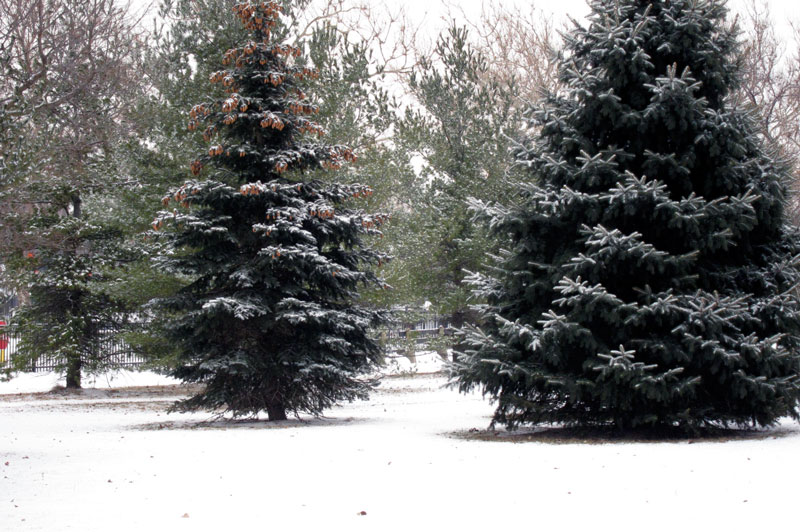Beautiful evergreens, © 2014 Celia Her City