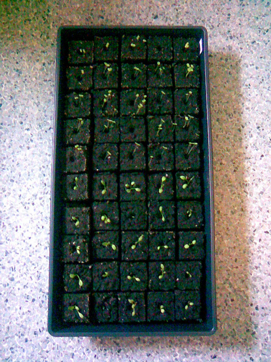 Bedding flat with soil blocks and seedlings, © 2014 Celia Her City