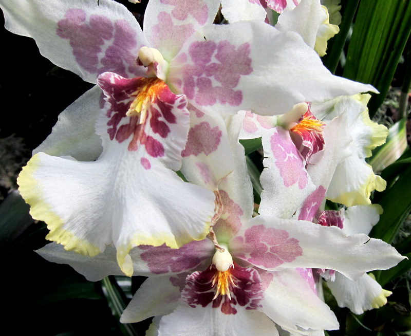 A spray of rare orchids in the Lincoln Park Conservatory, Chicago.