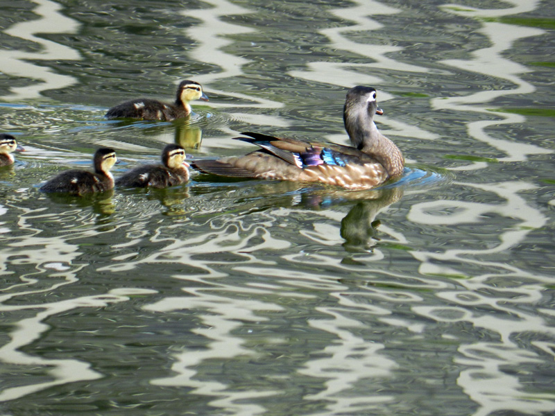 Female wood duck and ducklings on a grey-rippled North Pond.