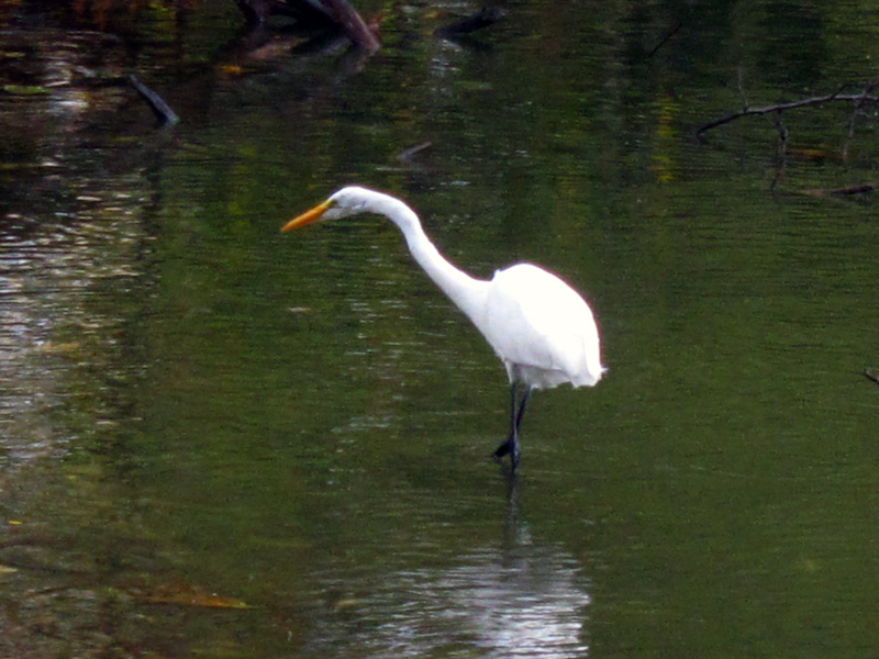 Great egret in the rain (North Pond, Chicago), © 2014 Celia Her City