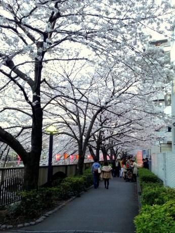 Corridor of sakura