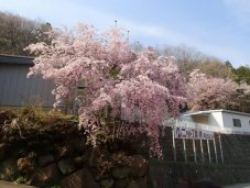 Sakura waterfall!