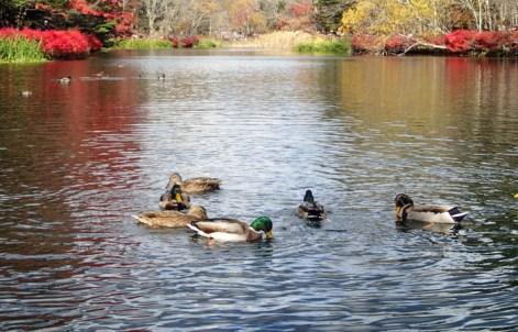 Happy flock of ducks