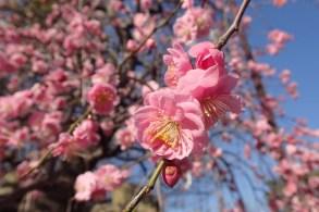Plum Blossoms at Hanegi Park