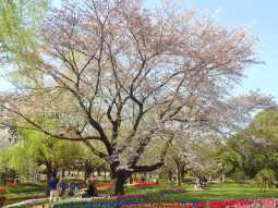 A large sakura tree
