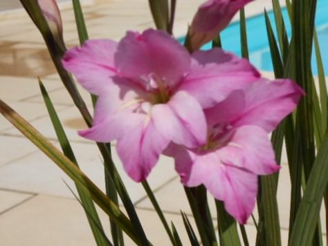 Ixia flowers