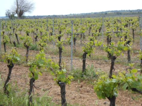Chardonnay in April