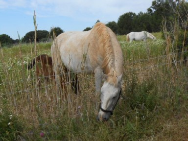 Camargue mare and foal
