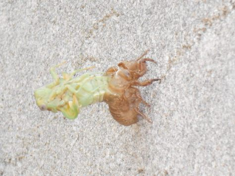 alien cicada