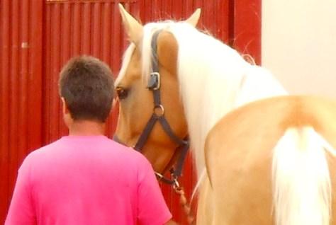 Féria horse