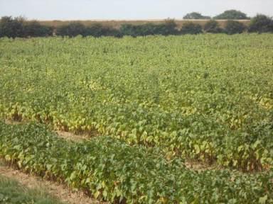 vines in Norfolk
