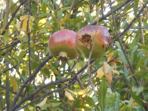 Languedoc pomegranates