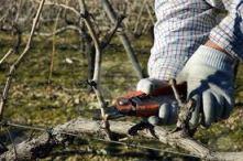handpruning vines