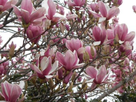 Languedoc Magnolia in February 2014