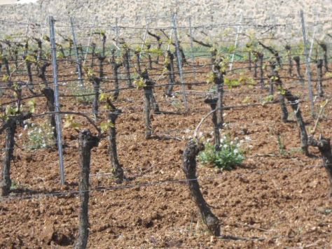 Languedoc Vines 2014