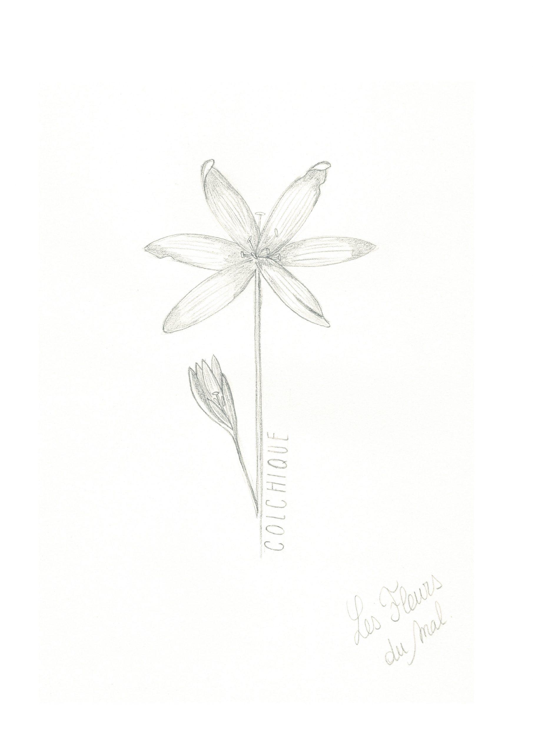 Dessin au crayon fleur colchique