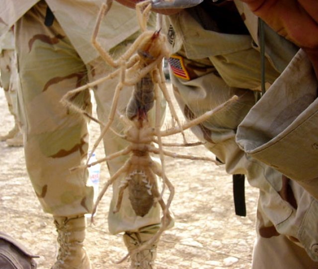 Razorfish Sends Along This Beaut Forwarded From Iraq A Big Ass Image Of Two Big Ass Spiders In Iraq At First It Looks Like One But Its Most Certainly