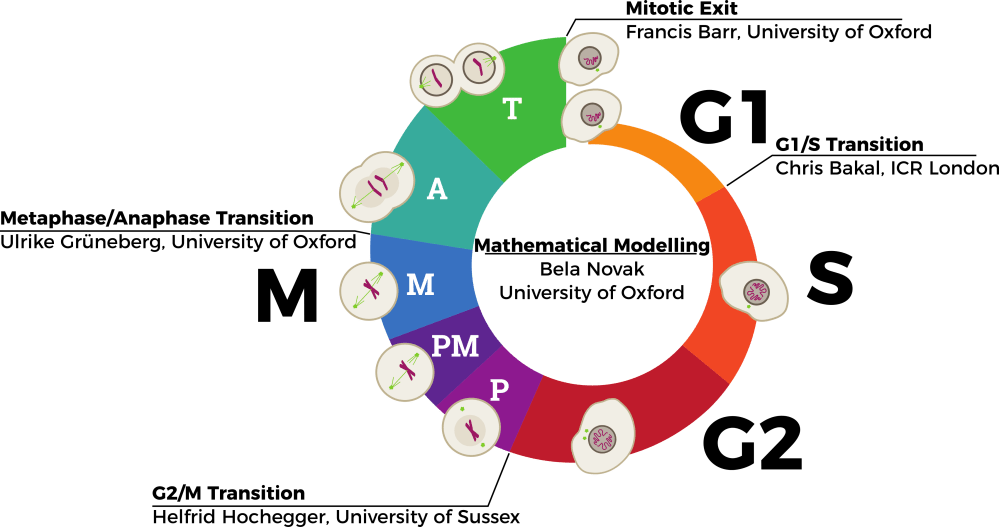 medium resolution of during human development and growth cells must proliferate in an ordered and controlled manner to form the adult body the cell cycle is a series of events