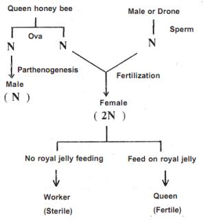 Partenogenesis  Cell Division