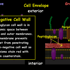 Plant Cell Animal Diagram Metra Wiring Harness Toyota Interactive Bacteria Model