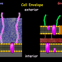 Gram Negative Cell Wall Diagram Wire 2 Lights To 1 Switch Different From E Two Wiring Wires Interactive Bacteria Model