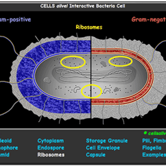 Mitosis Worksheet Diagram Subwoofer Wiring Kicker Interactive Bacteria Cell Model