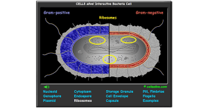 Interactive Bacteria Cell Model