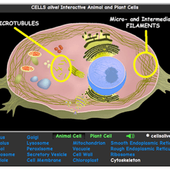 Animal Cell Coloring Diagram 12v Wiring Caravan Ctek Interactive Eukaryotic Model