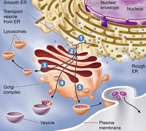eukaryotic endomembrane system cell diagram 4 way switching wiring structure and function
