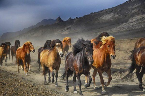 Es un grupo de caballos salvajes corriendo por el camino al pie de una montana