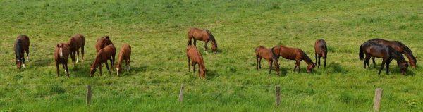 Es una manada de caballos comiendo un rico pasto verde
