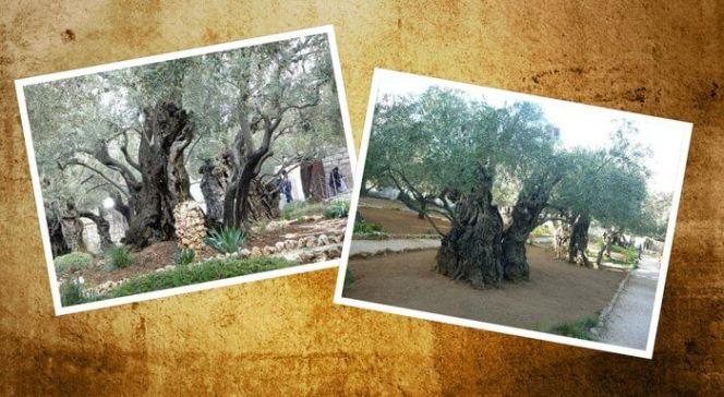 es un collage de arboles de olivo muy antiguos en la ciudad de Jerusalen