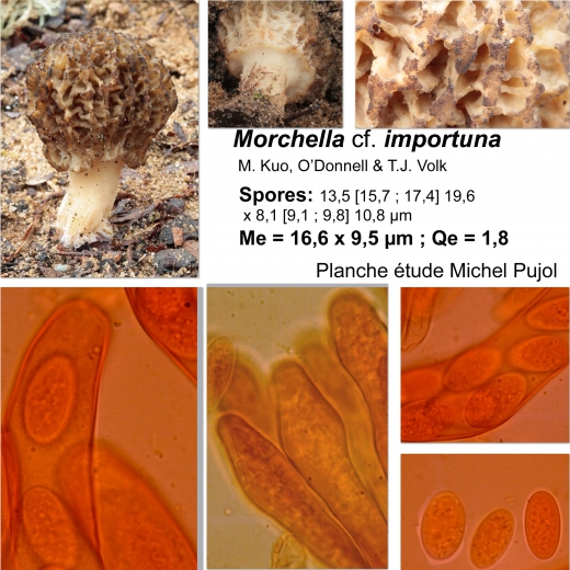 morchella-cf-importuna-MP1.jpg