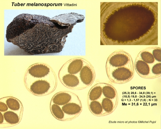 Melanosporum-micro-MP.jpg